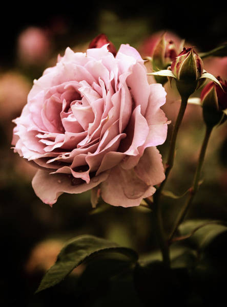Rose Bud Photograph - Rose Blooms At Dusk by Jessica Jenney