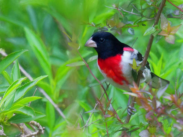Photograph - Rose Breasted Grosbeak by Bellesouth Studio