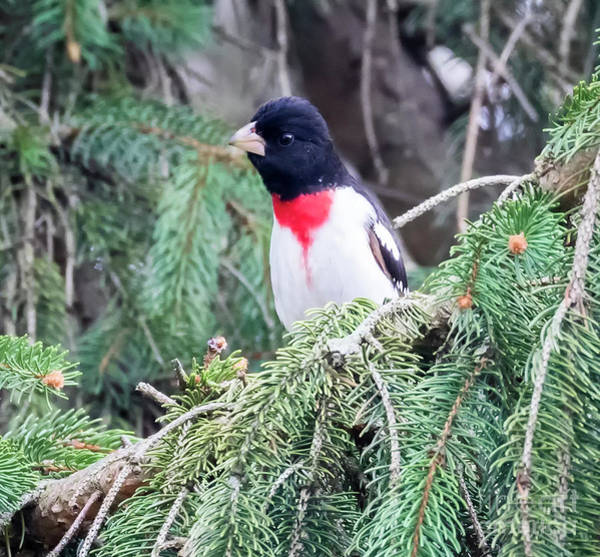 Photograph - Rose-breasted Grosbeak by Ricky L Jones