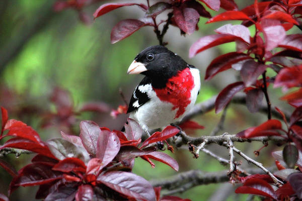 Photograph - Rose-breasted Grosbeak by Trina Ansel