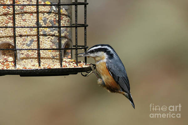 Photograph - Rose Breasted Nuthatch by Deborah Benoit