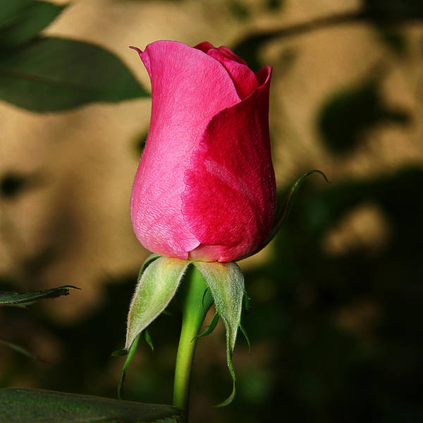 Photograph - Rose Bud by Anthony Jones