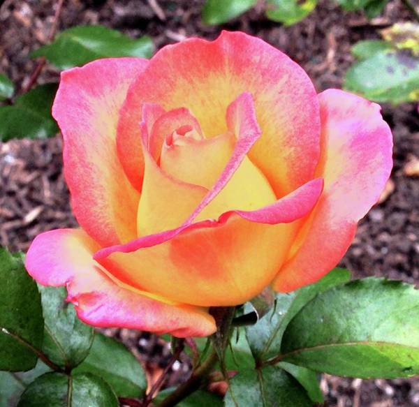 Photograph - Rose Bud by Lynda Anne Williams