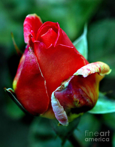 Photograph - Rose Bud by Norman Andrus