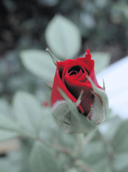 Wall Art - Photograph - Rose Bud by Ramona Barnhill