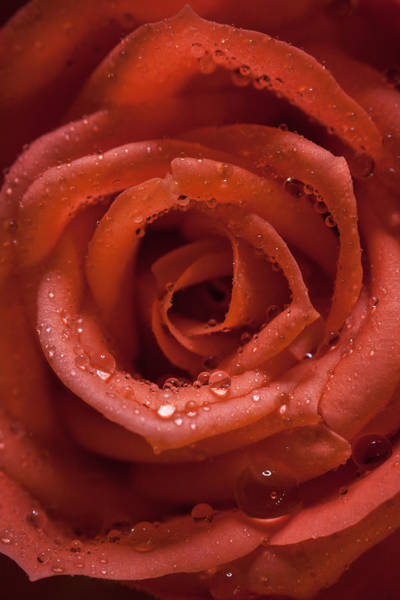 Wet Rose Wall Art - Photograph - Rose by Chris Dale