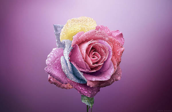 Wall Art - Photograph - Rose Colorfull by Bess Hamiti