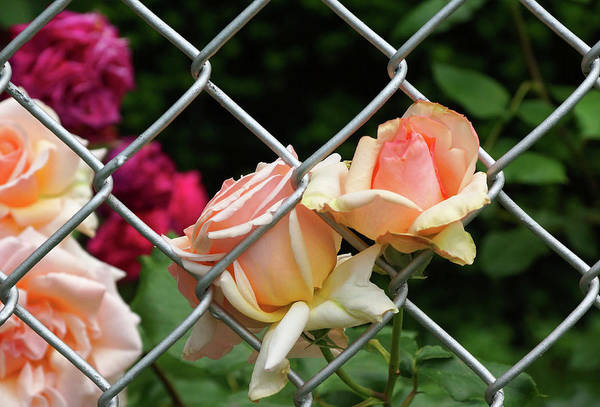 Rose Fence Art Print