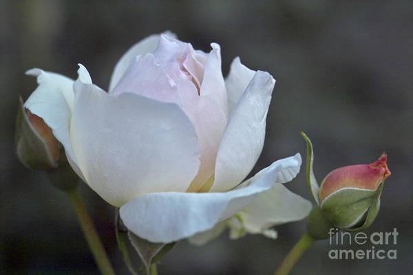 Photograph - Rose Flower Series 14 by Heiko Koehrer-Wagner