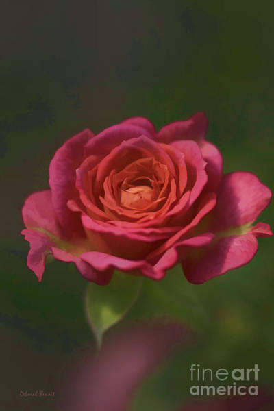 Photograph - Rose Fragrance by Deborah Benoit