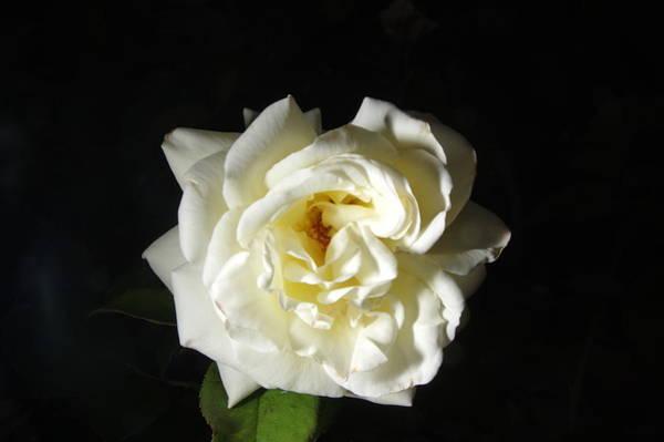 Photograph - Rose Garden Flower 1 by Phyllis Spoor