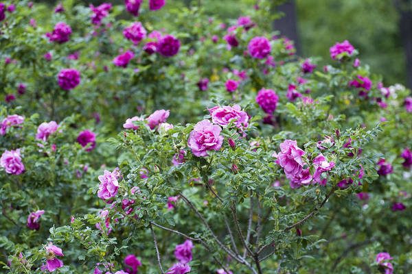 English Garden Photograph - Rose Garden by Frank Tschakert