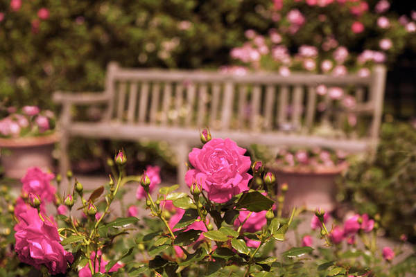 Photograph - Rose Garden Rest by Jessica Jenney