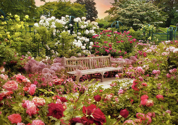 Photograph - Rose Garden Sunset by Jessica Jenney