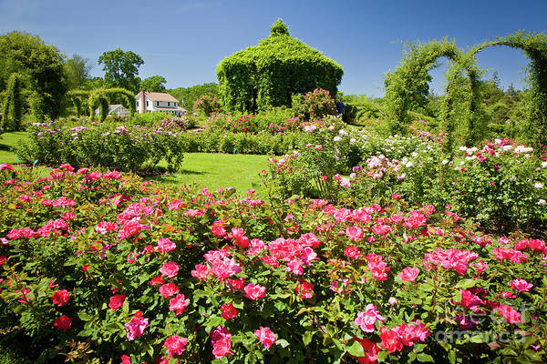 Photograph - Rose Garden by Susan Cole Kelly
