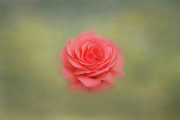 Photograph - Rose Impressions by Kim Hojnacki
