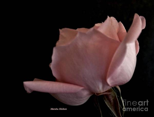 Wall Art - Photograph - Rose In A Corner by Marsha Heiken