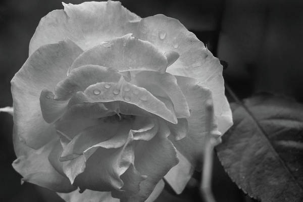 Photograph - Rose In Black And White by Kelly Hazel