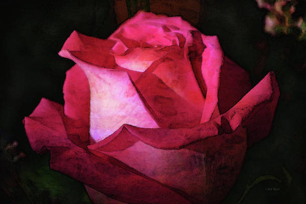 Photograph - Rose In The Light 7692 Idp_2 by Steven Ward