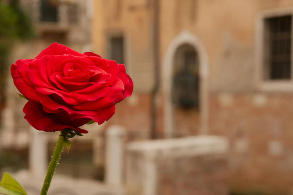 Wall Art - Photograph - Rose In Venice With Building In The Background by Michael Henderson