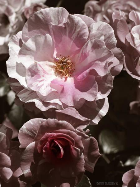 Native Garden Wall Art - Photograph - Rose Kiss by Garth Glazier