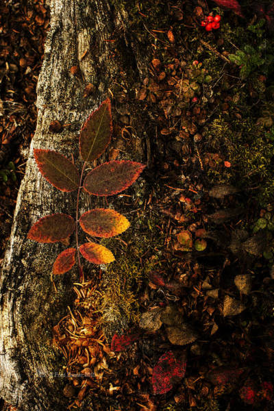 Photograph - Rose Leaf And The Forest Floor by Fred Denner