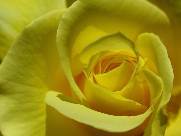 Photograph - Rose Macro by Juergen Roth