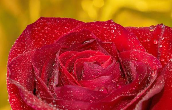 Photograph - Rose N Gold by Keith Smith