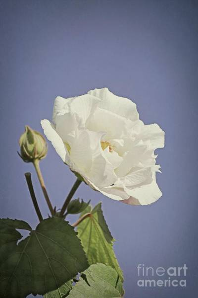 Photograph - Rose Of Sharon by Elaine Teague