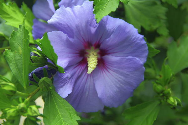Photograph - Rose Of Sharon Hibiscus by Allen Nice-Webb