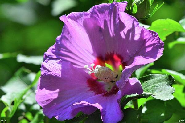 Photograph - Rose Of Sharon by Lisa Wooten