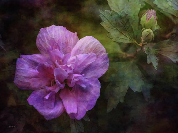 Photograph - Rose Of Sharon With Buds 4697 Idp_2 by Steven Ward