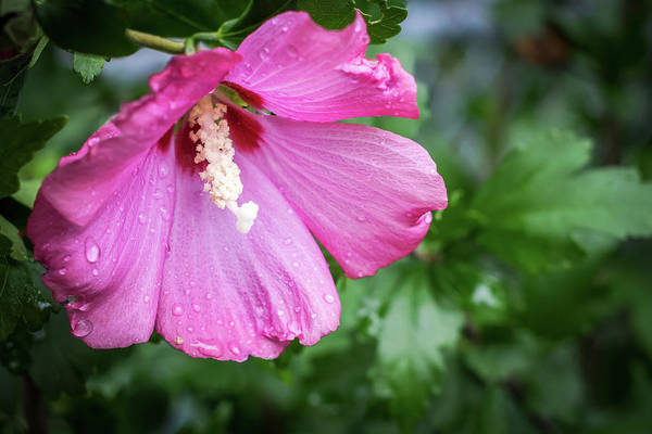 Photograph - Rose Of Sharon With Rain Drops 2016 by Terry DeLuco