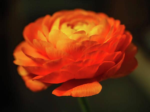 Photograph - Rose Of Spring by Robin Zygelman