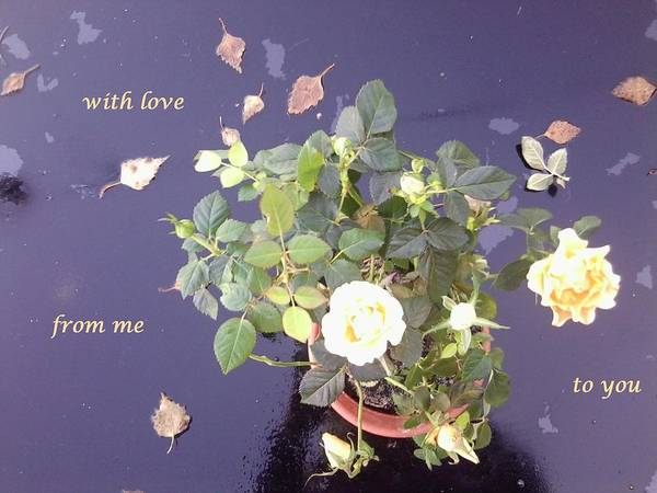 Photograph - Rose On Glass Table With Loving Wishes by Julia Woodman