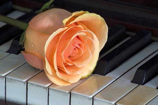 Photograph - Rose On Ivory by Garvin Hunter