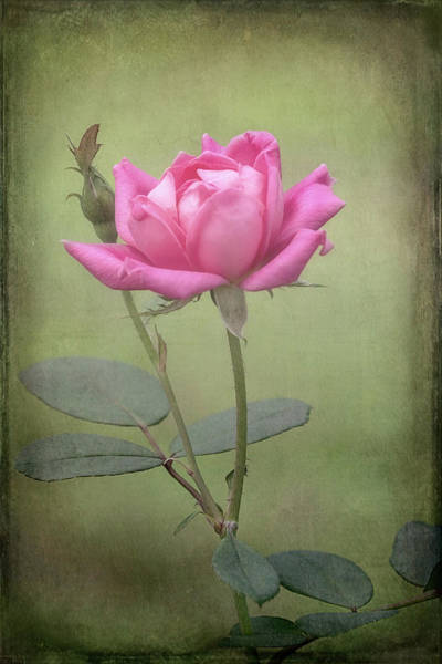Photograph - Rose by Patricia Cale