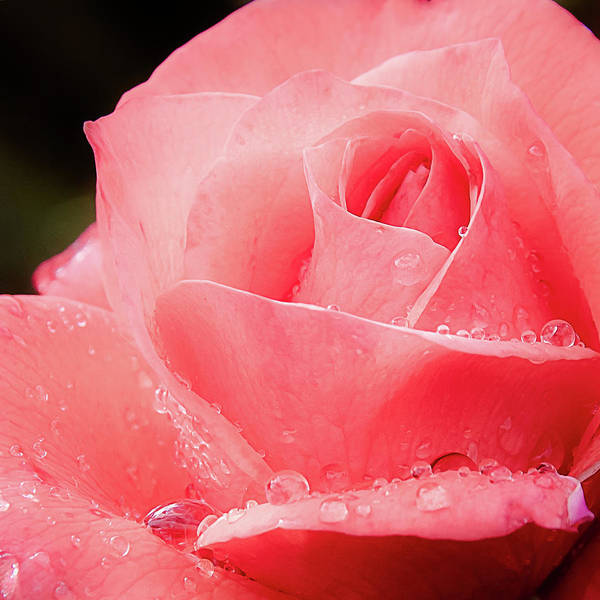 Photograph - Rose Petals And Drops Macro by Julie Palencia