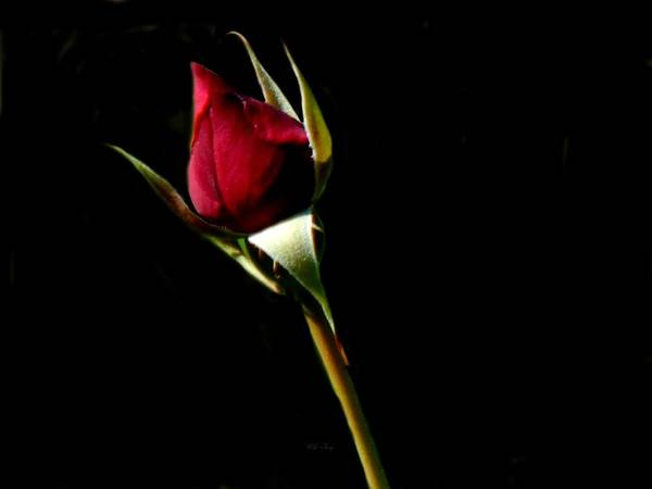 Photograph - Rose Red by Wild Thing