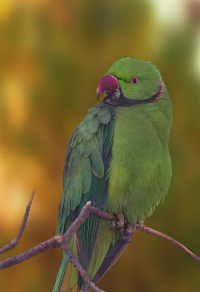Photograph - Rose-ringed Parakeet  by Brian Cross