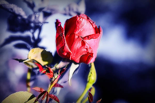 Photograph - Rose by Ryan Smith