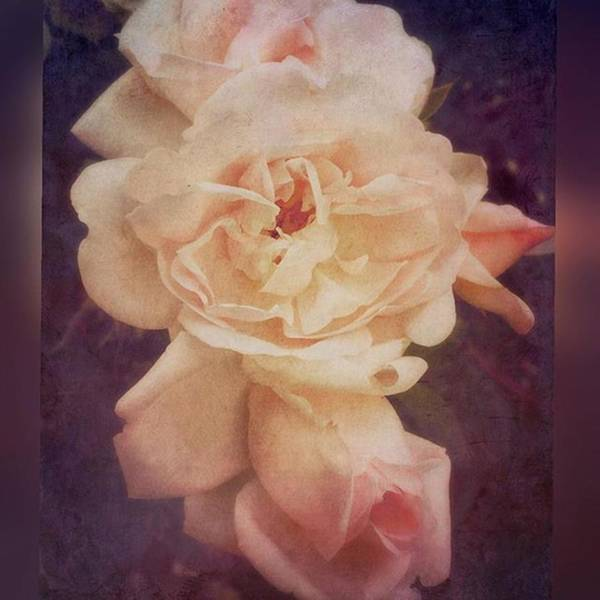 Roses Wall Art - Photograph - Rose #stackablesapp #roses #enlight by Joan McCool