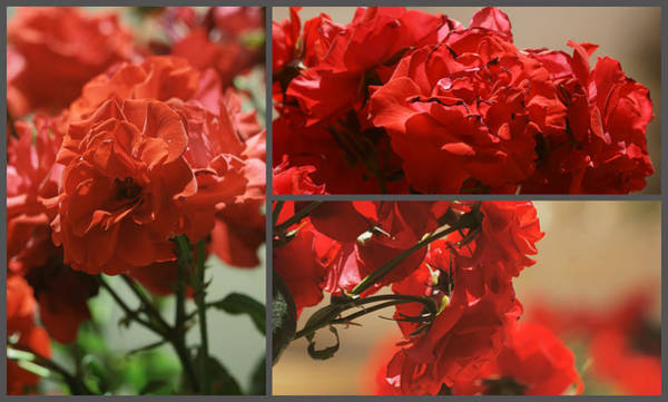 Photograph - Rose Triptych by Dimitry Papkov