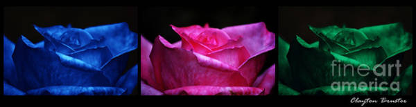 Photograph - Rose Tryptich by Clayton Bruster