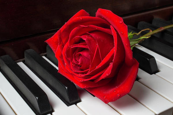 Wall Art - Photograph - Rose With Dew On Piano by Garry Gay