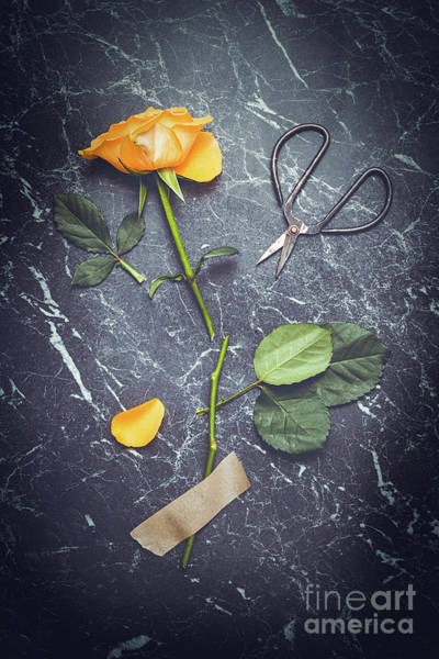Wall Art - Photograph - Rose With Scissors by Amanda Elwell