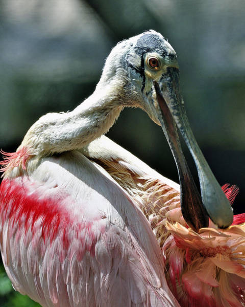 Photograph - Roseate Spoonbill by Donna Proctor