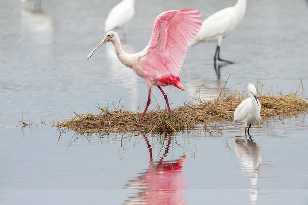 Photograph - Roseate Spoonbill Flapping Wing While Looking For Food by Dan Friend