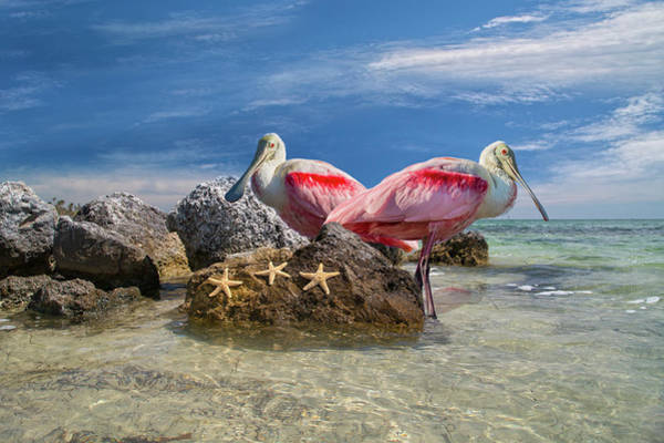 Scaling Photograph - Roseate Spoonbill Florida Keys by Betsy Knapp