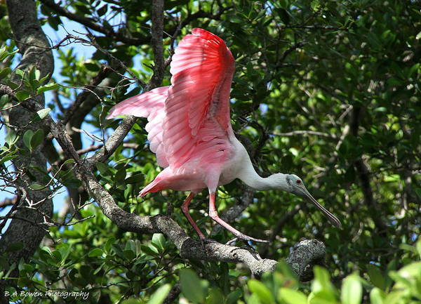 Photograph - Roseate Spoonbill In Flight by Barbara Bowen